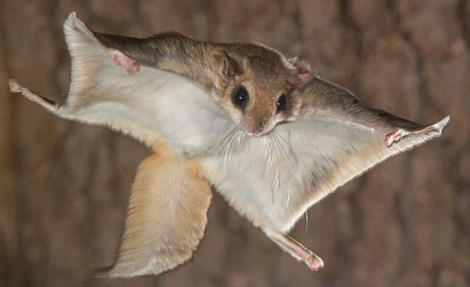 Suspected nocturnal culprit, Ohio flying squirrel.