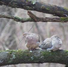Mourning Dove Pair - February 13, 2020