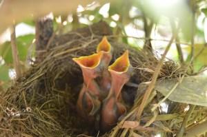 three newborn birds in nest, mouths wide open, awaiting food