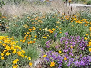 orange poppies, white yarrows, purple penstemon make a vivid display