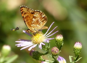Orange, brown, and tan butterfly sits on purple aster, as small bee approaches.