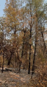 low-intensity fire --- singed trees and ground cleared by fire