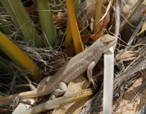 DS-Lizard-Mark-L_-Watson-300x235