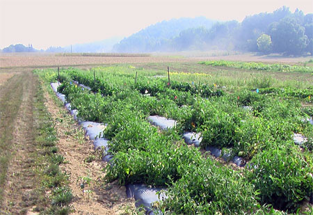tomato plots at Kentland are healthy in spite of the drought