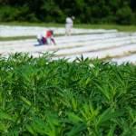 soil amendment products growing hemp