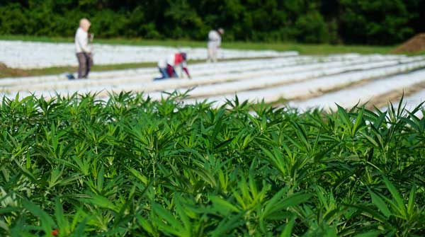 soil amendment products growing hemp