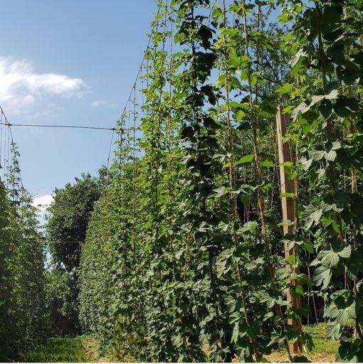 Hops crop in Virginia grown with CharGrow BioGranules
