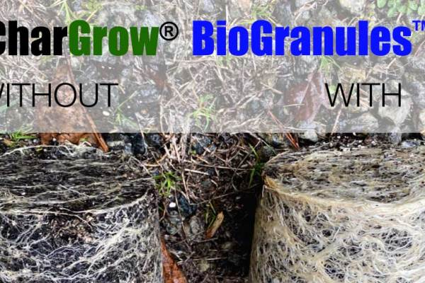 Feature image - Hemp growing trials with CharGrow BioGranules showing improved root development