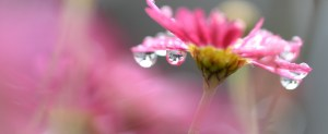 flower-pink-water