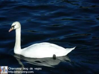 Cisne en el Lago de Como