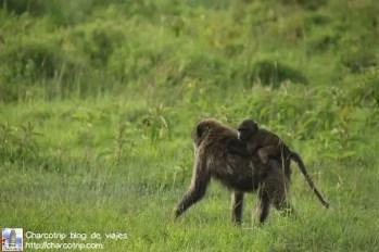 Babuinos madre e hijo
