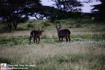 cobos-agua-safari-shaba-kenia