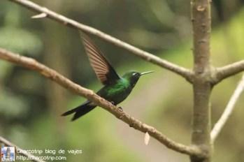 colibri-acaime-cocora4
