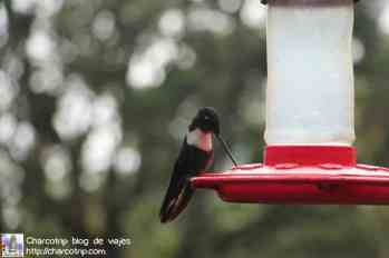 colibri-acaime-cocora9