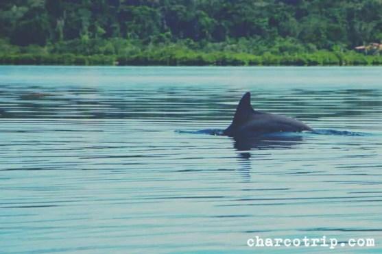 Delfin nadando