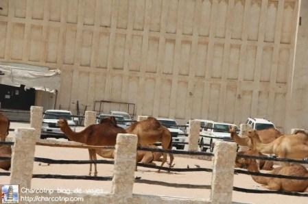 Camellos! rápido! foto!