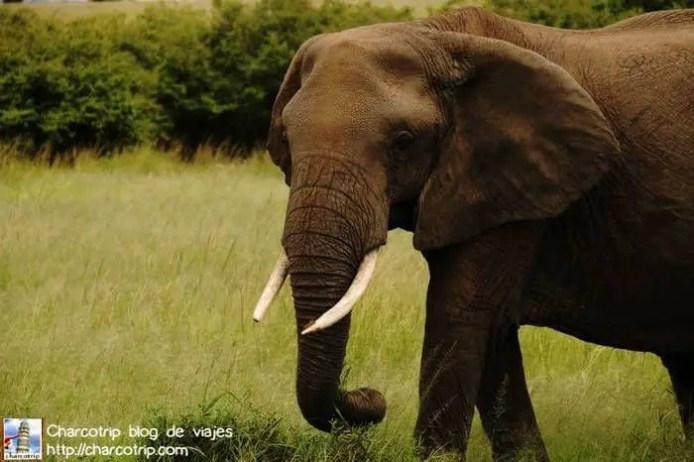 elefante-masai-mara