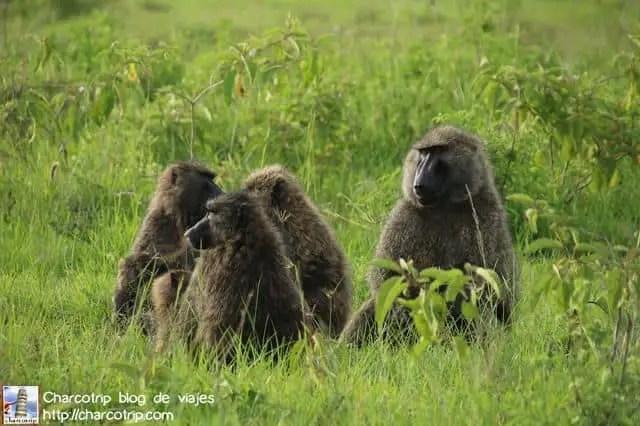 familia-babuinos-nakuru