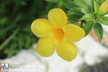 flores-panama-2
