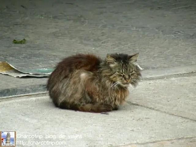 Gato bien peludo