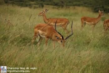 impala macho
