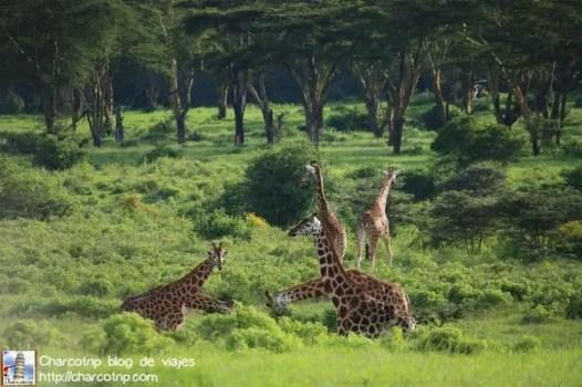 Reunión de jirafas