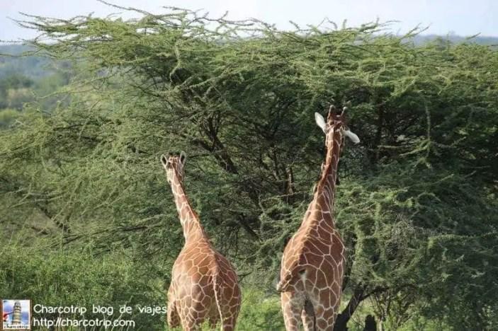 jirafas-safari-shaba-kenia