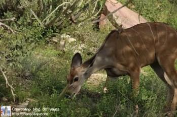 kudu-comiendo-safari-shaba-kenia
