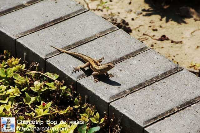 Una lagartija nos da la bienvenida
