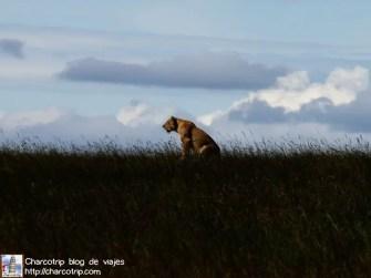 leona-horizonte-masai-mara