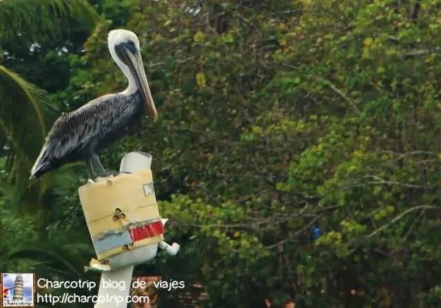 pelicano-bocas-del-toro