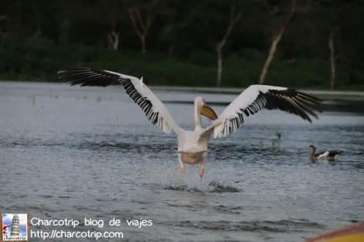 pelicano-volando-naivasha