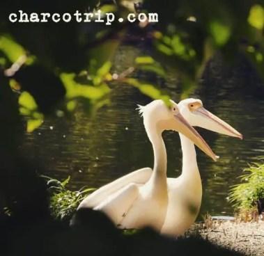 pelicanos-londres