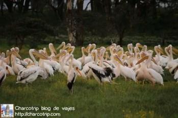 pelicanos-naivasha