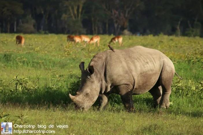 rinoceronte-comiendo-nakuru