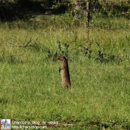 suricata-masai-mara