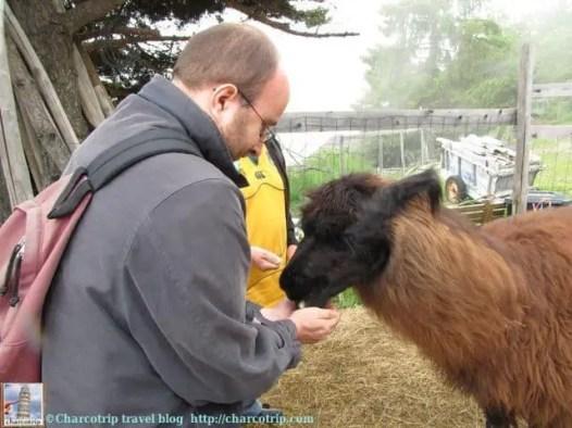 Vicente dándole de comer a Natasha (todas las llamas tienen nombre, nada mas que no los recuerdo todos :( )