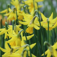 daffodils my word of the week show