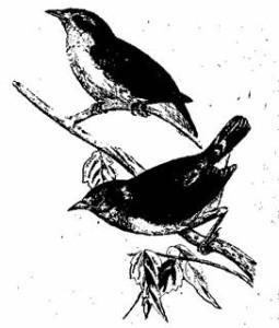 Camarhynclius psitt acultis, Gould.  Остров Джемс