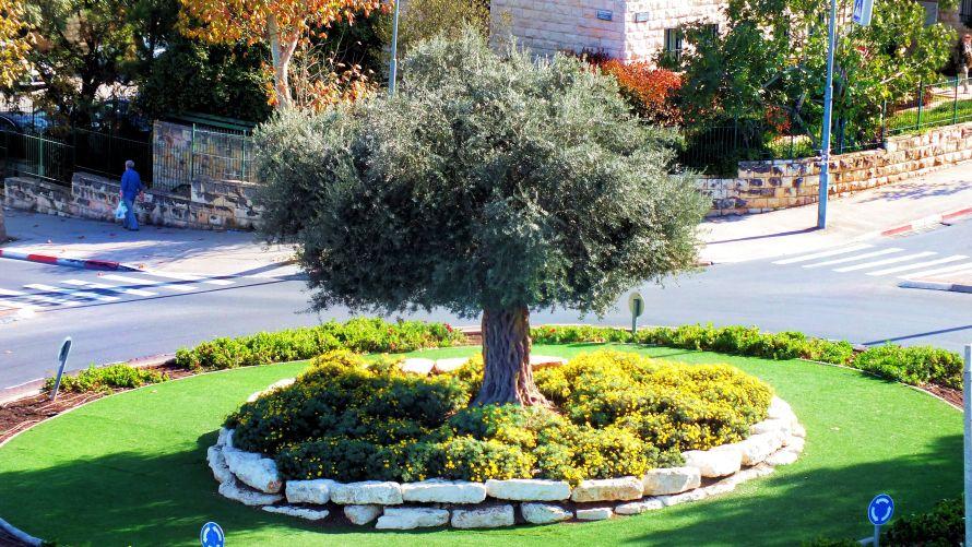 Olive tree at the corner of Afarsemon and Hamor Streets, Jerusalem, Israel.