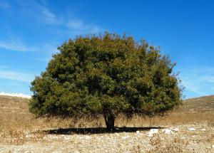 Terebinth Tree (pistacia palaestina)