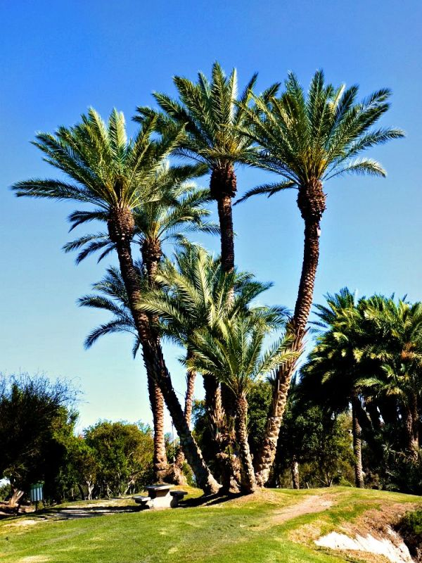 Palm Trees in Gan HaShlosha (Sakhne) National Park near Beit Shean, Israel.