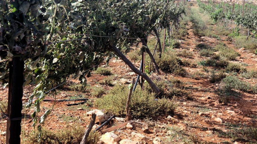 Vineyards shrivels in the sun following agro-terrorism raids where the vines are intentionally severed to destroy the grape crop, 2018.