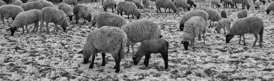 8_Sheep In The Field In Winter
