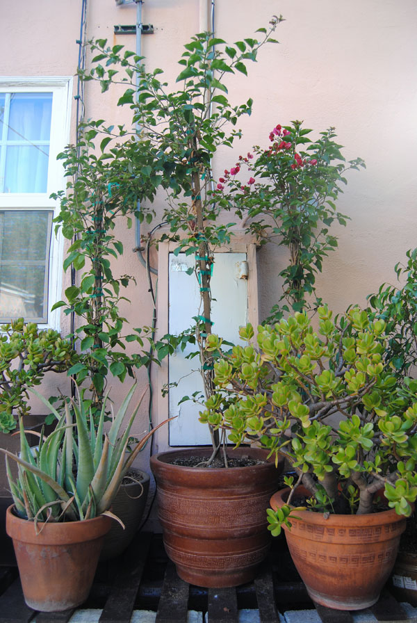 lowes-bougainvillea.jpg