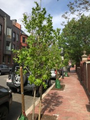 New Trees Across Marlborough Street from The Charlesgate