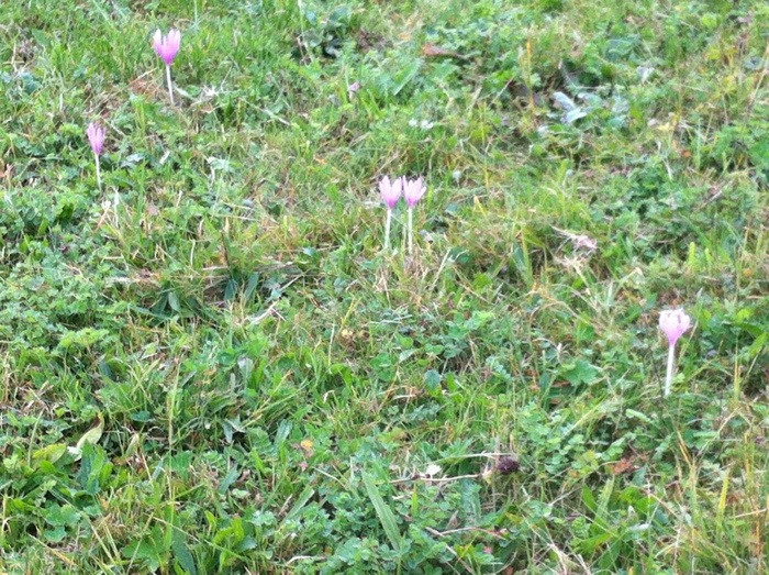 Colchicum autumnale on the way of St James, France GR65 Route Saint Jacques. Photograph by Charles Hawes