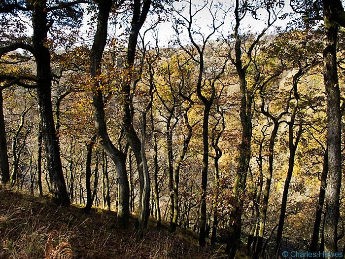 Oak wood above the River Mellte in Powys, Wales. Photograph by Charles Hawes. Walking in Wales.