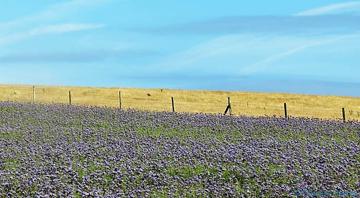 Field of Phacelia in Pembrokeshire, photographed from The Wales Coast Path by Charles Hawes