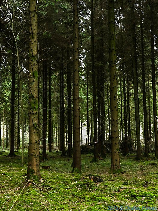 Coppice in Grovely Woods, Wiltshire, photographed by Charles Hawes